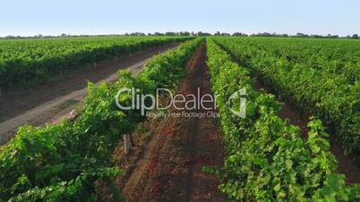 Flight over Vineyard. Aerial Video from Drone
