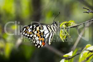 Butterfly rest in the Leaf