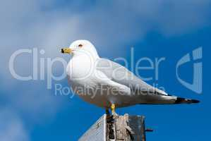 Seagull perched facing left against cloud and sky