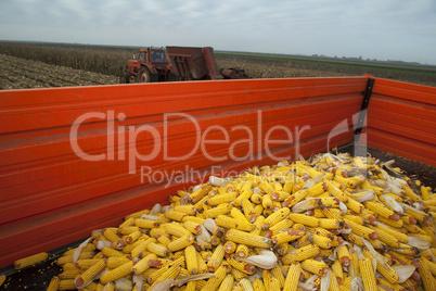 Corn cobs in tractor trailer