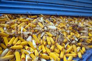 Corn cobs from tractor trailer