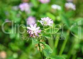 Persischer Klee (Trifolium resupinatum)