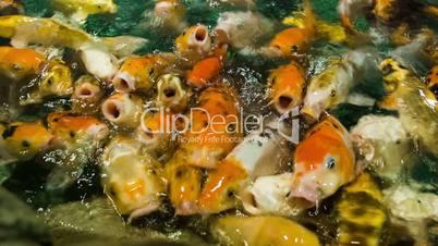 Feeding Golden Carps 2