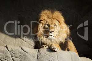 Löwe schaut in die Ferne