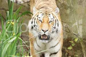 Tiger schaut dich an