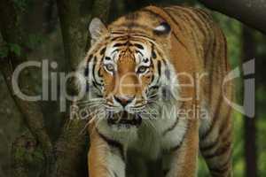 Tiger schleicht aus Gebüsch
