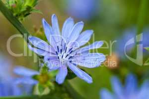 Close up blue chicory flower (cichorium intybus), shallow focus