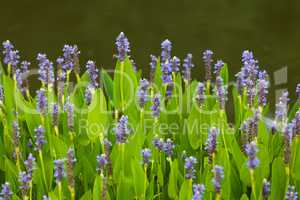 Violet blue Pontederia flowers growing by the lake