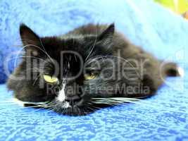 muzzle of black cat sleeping on the blue sofa