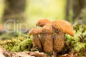 Edible mushrooms species,red-capped