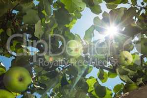 sun rays go through apple tree leafs
