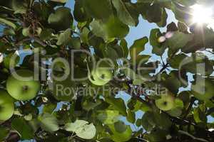 sun rays go through apple tree leafs lens flare