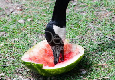 Canada Goose eating piece of red watermelon