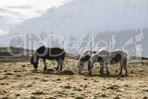 Icelandic horses in wintertime