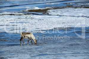 Reindeer at a lake