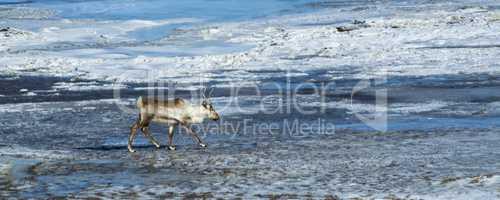 Reindeer at a lake, Iceland
