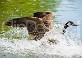 Canada Goose landing on pond in big splash