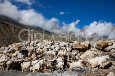 Mountain goats, Spiti Valley