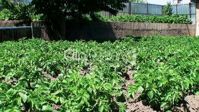 potatoes grow on a personal plot