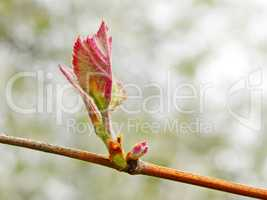Grape leaf on the vine sprouting in springtime