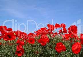 Blühendes Mohnfeld mit blauem Himmel