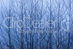 Birch tree branches against a misty background