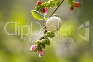 Gewöhnliche Schneebeere - Symphoricarpos albus