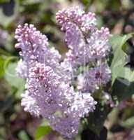 Lilac at Spring