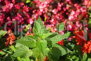 nettle on red little flowers