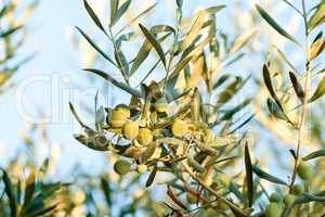Olives On It?s Tree Branch