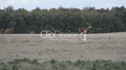 Red deer,Cervus elaphus