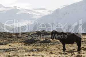 Icelandic pony in wintertime