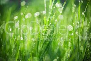 Green grass with drops of morning water. Beautiful summer background with bokeh and blurred background. Low depth of field.