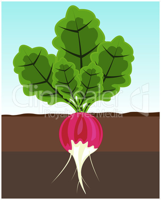 radish grows.eps