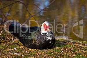 Muscovy Duck Watching Me Cautiously