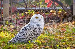 Snowy Owl Sitting on Grass