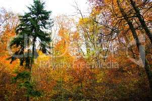 Mischwald mit farbigen Buchenblättern