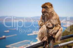Macaque Monkey on Gibraltar