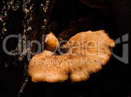 Mushroom in sunlight growing from dark tree