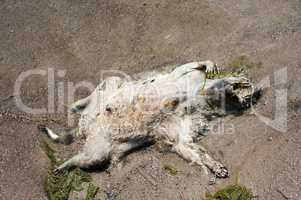 Dead raccoon corpse lying on back on wet beach