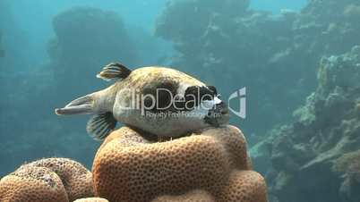 Fish arothron on the coral in the Red sea