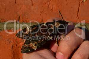 Dead head. The large  butterfly belonging to family of brazhnik.
