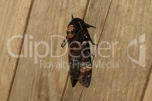 Dead head. The large  butterfly belonging to family of brazhnik.