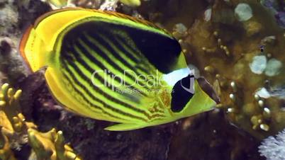 Striped butterfly fish on the reef in the Red sea