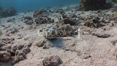 Fish stone, lying in wait for prey on the reef in the Red sea