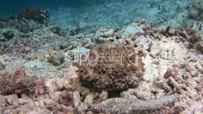 Fish stone, waiting for prey near the reef of the Maldivian archipelago