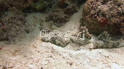 Fish crocodile lurking on the reef near the archipelago of Palau