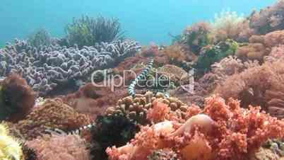 Sea snake on a colorful reef near Malapascua island in the Philippine archipelago