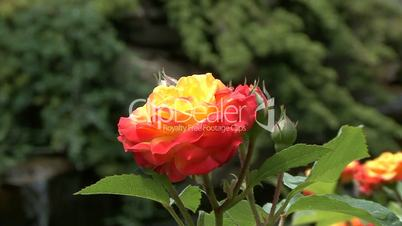Blooming roses in the city garden of Krasnodar, Russia
