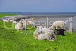Ostfriesland Schafe - Eastern Friesland sheeps 02